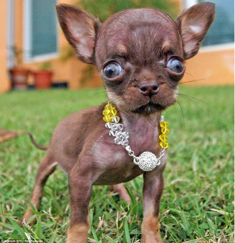 The Chihuahua sometimes suffers because it's brains are bigger than it's skull.